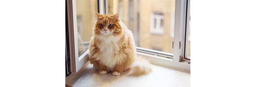 Παχυσαρκία Γάτας